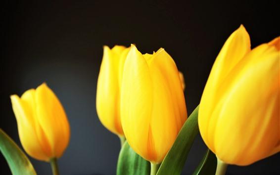 Fondos de pantalla Tulipanes amarillos, fondo gris