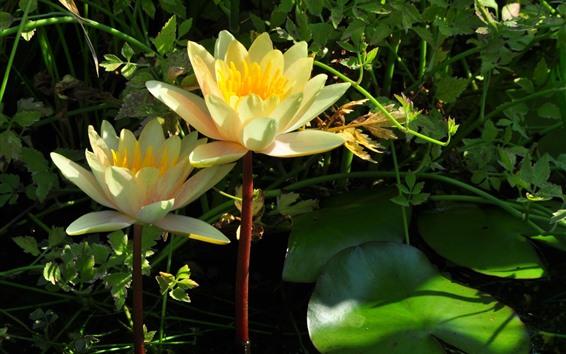 Fondos de pantalla Flor amarilla del lirio del agua, pétalos, charca