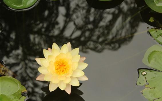 Papéis de Parede Lírio de água amarelo, pétalas, lagoa, folhas