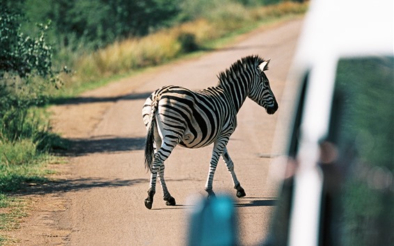 Wallpaper Zebra crossing the road