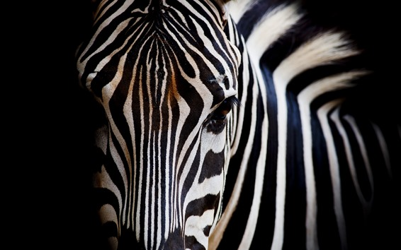 Wallpaper Zebra, head, eyes