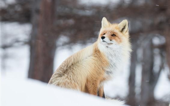 Fondos de pantalla Animal en invierno, zorro, nieve.