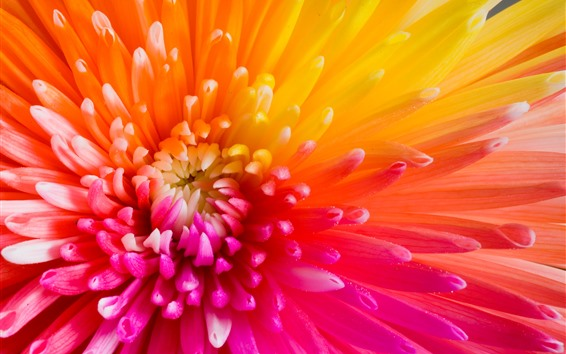 Wallpaper Beautiful chrysanthemum petals, rainbow colors