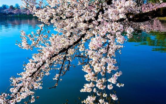 Papéis de Parede Bela flor branca sakura, primavera, lago