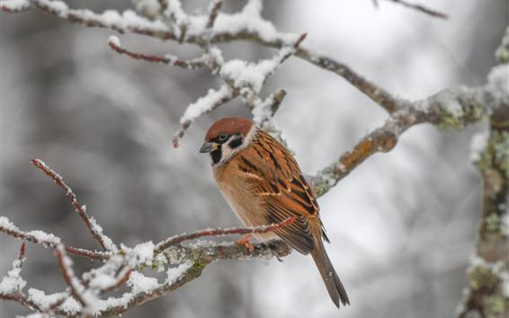 Fondos de pantalla Pájaro, gorrión, ramitas, nieve, invierno.