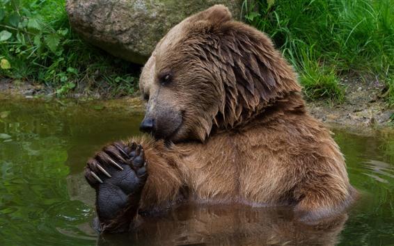 Papéis de Parede Urso pardo, banhar-se, em, água, animais selvagens