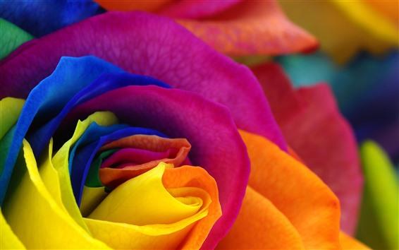 Wallpaper Colorful petals rose, flower close-up