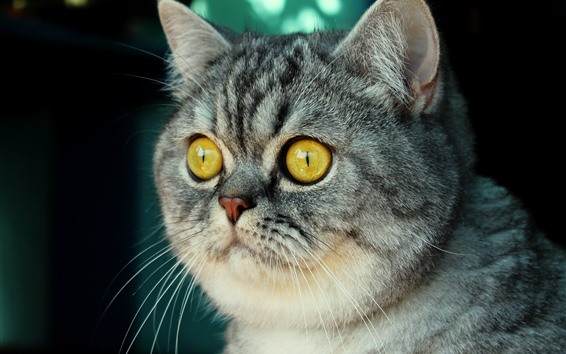 Wallpaper Cute gray striped cat, face, nose, yellow eyes