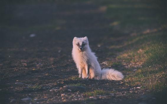 Fondos de pantalla Lindo zorro ártico blanco, sentarse en el suelo