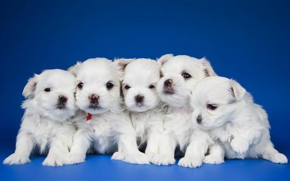 Papéis de Parede Cinco filhotes brancos, fundo azul