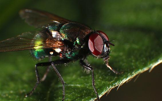 Fondos de pantalla Mosca macro fotografia, insecto