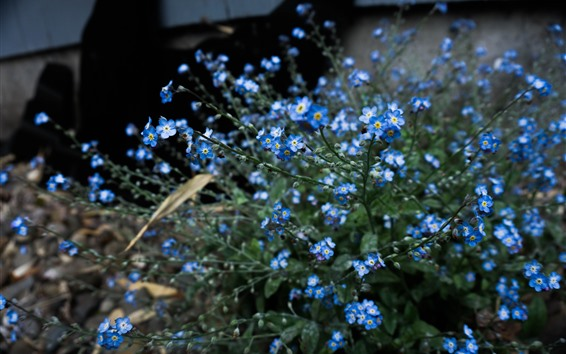 Fondos de pantalla Nomeolvides, pequeñas flores azules