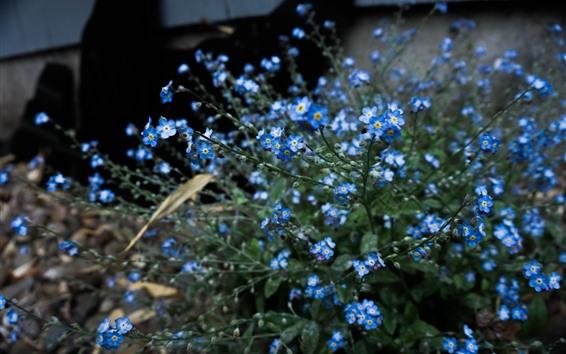Wallpaper Forget-me-not, blue little flowers