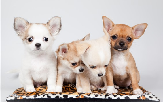 Wallpaper Four puppies, Chihuahua dog