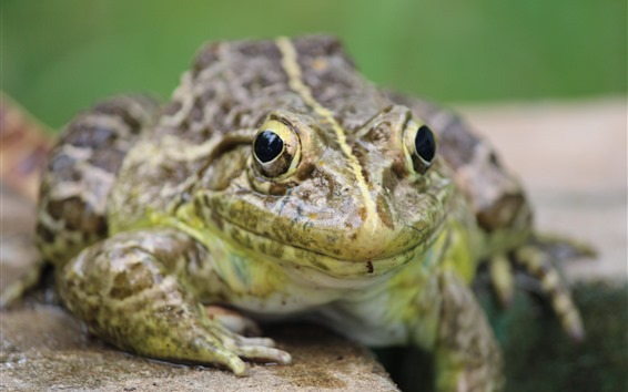 Wallpaper Frog front view, eyes, hazy background