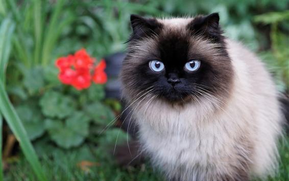 Fondos de pantalla Gato peludo, cara, brumoso