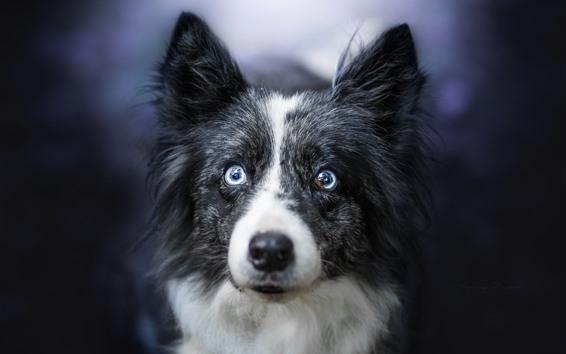 Fondos de pantalla Perro peludo, cara, brujería