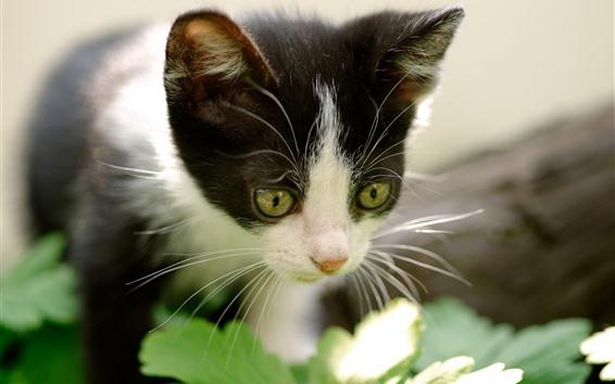 Fondos de pantalla Gatito peludo, ojos verdes, nebuoso