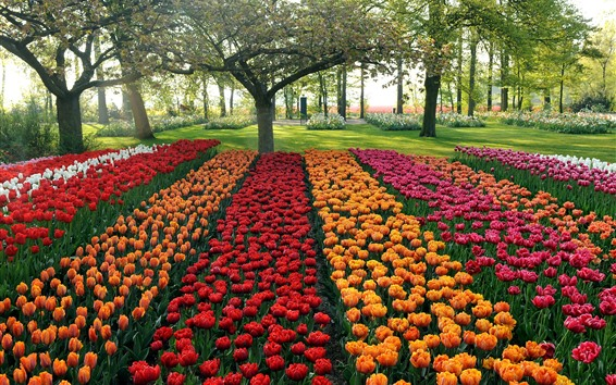 Wallpaper Garden, colorful tulips, trees