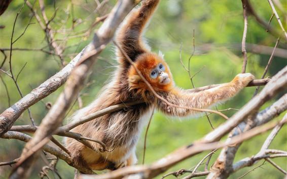 Papéis de Parede Macaco dourado, árvore, galhos, animais selvagens