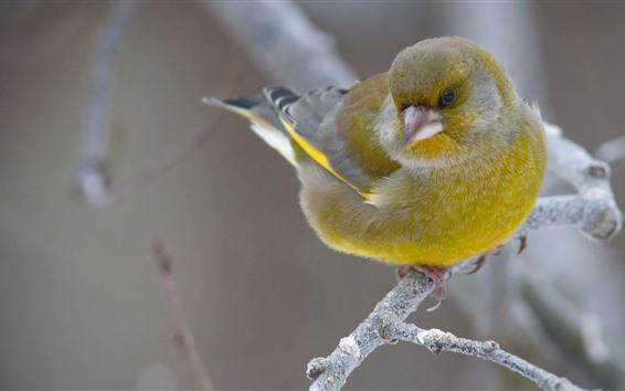 Papéis de Parede Pássaro de pena verde, tit, galhos
