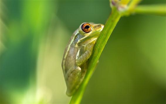 Обои Зеленая лягушка, стебель растения