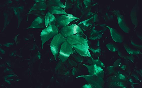 Fondos de pantalla Hojas verdes, gotas de agua, oscuridad.