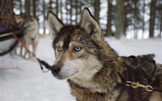 Wallpaper Husky dog, face, eyes, winter, snow