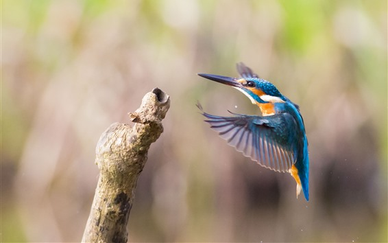 Papéis de Parede Martim-pescador, vôo, asas, vara de madeira