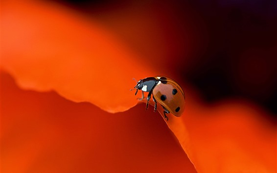 Wallpaper Ladybug, red rose petals