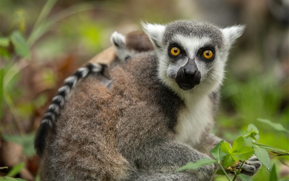 Papéis de Parede Filhote de Lemur, olhos amarelos