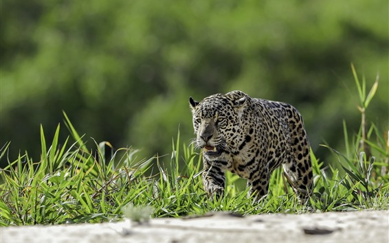 Fondos de pantalla Leopardo, hierba, vida silvestre