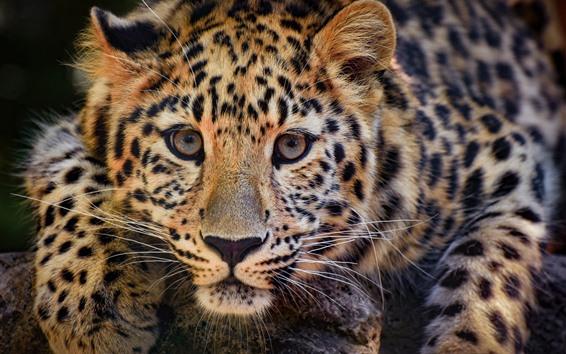 Papéis de Parede Leopardo, gato selvagem, cara, nebuloso