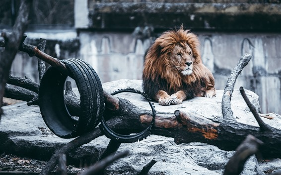 Wallpaper Lion, mane, rocks, wheel, zoo