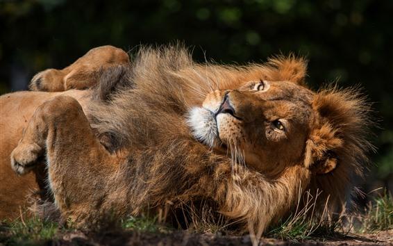 Papéis de Parede Descanso do leão, patas, Juba