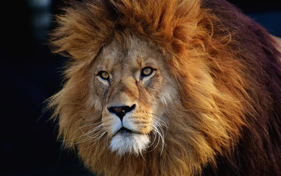 Papéis de Parede Leão, vida selvagem, face, Juba