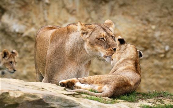 Papéis de Parede Leoa e filhote de leão