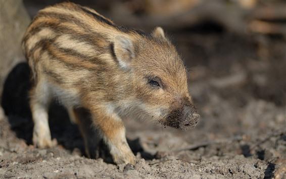 Papéis de Parede Porco pequeno, varrão
