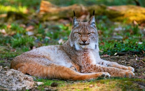 Wallpaper Lynx, wildcat, rest, ground