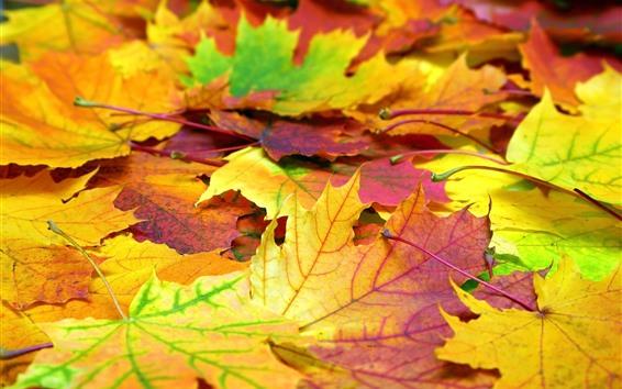Papéis de Parede Muitas folhas de plátano, outono