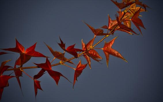 Papéis de Parede Maple folhas, galho, fundo cinza