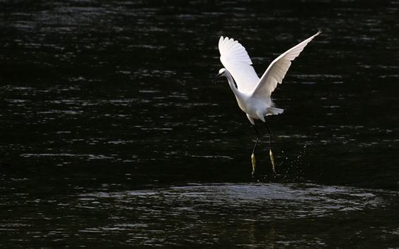 Wallpaper One egret walking in the water, open wings