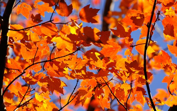 Wallpaper Orange maple leaves, twigs, autumn
