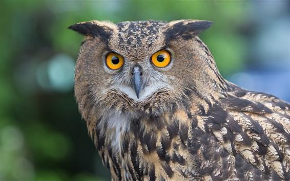 Papéis de Parede Olhar da coruja em você, olhos amarelos, pássaro