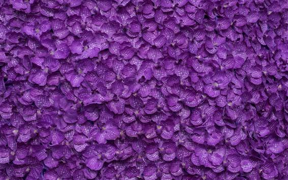 Papéis de Parede Phalaenopsis, muitas flores roxas fundo