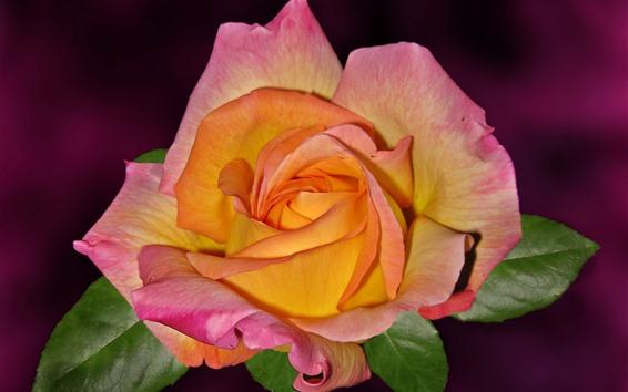 Fondos de pantalla Pétalos de rosa naranja, rosa.