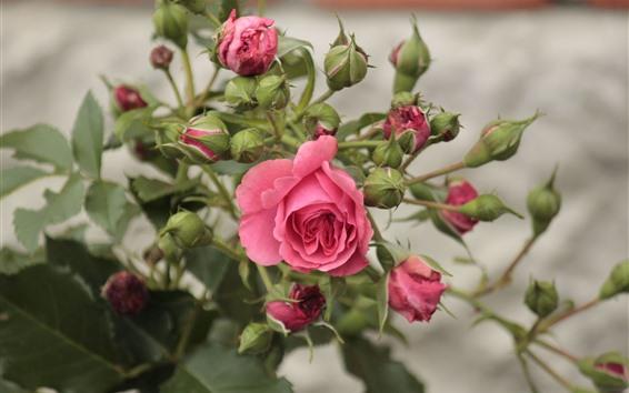 Papéis de Parede Rosa rosa, flores, botões, fundo nebuloso