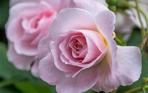 Papéis de Parede Fotografia macro rosa rosa, pétalas, flores