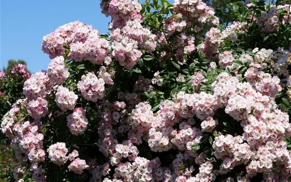 Fondos de pantalla Rosas rosadas, arbustos