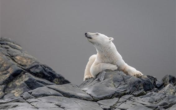 Papéis de Parede Urso polar, cabeça, rock
